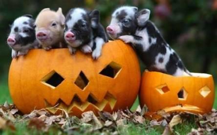 Halloween Piglets